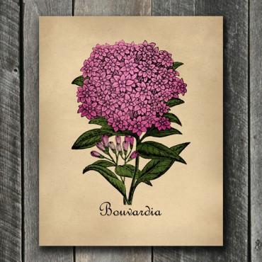 Bouvardia Botanical Print