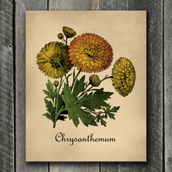Chrysanthemums Botanical Print