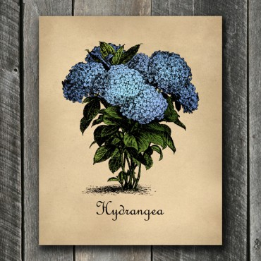 Blue Hydrangea Botanical Print